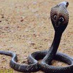 Het cobra-effect of: hoe zorg je ervoor dat een interventie de zaak niet verergert